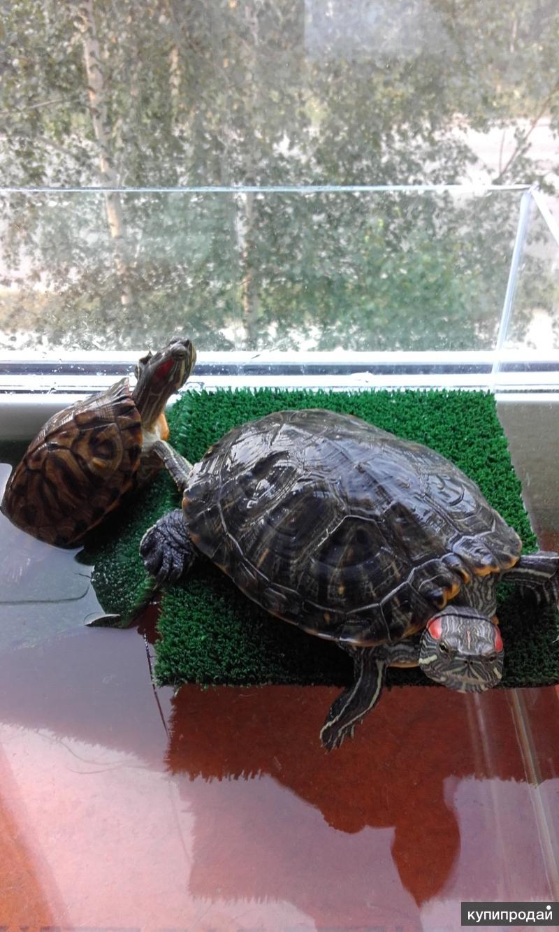 Как питаются черепахи в домашних условиях 376