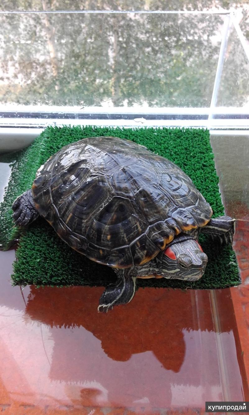 Сколько живут черепахи в домашних 65