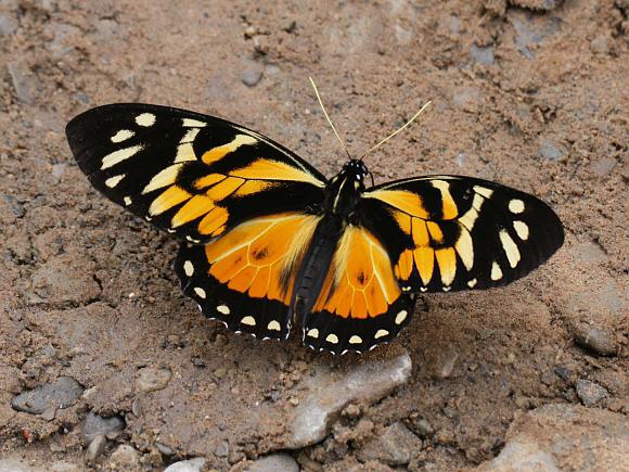 Живые бабочки, куколки бабочек.