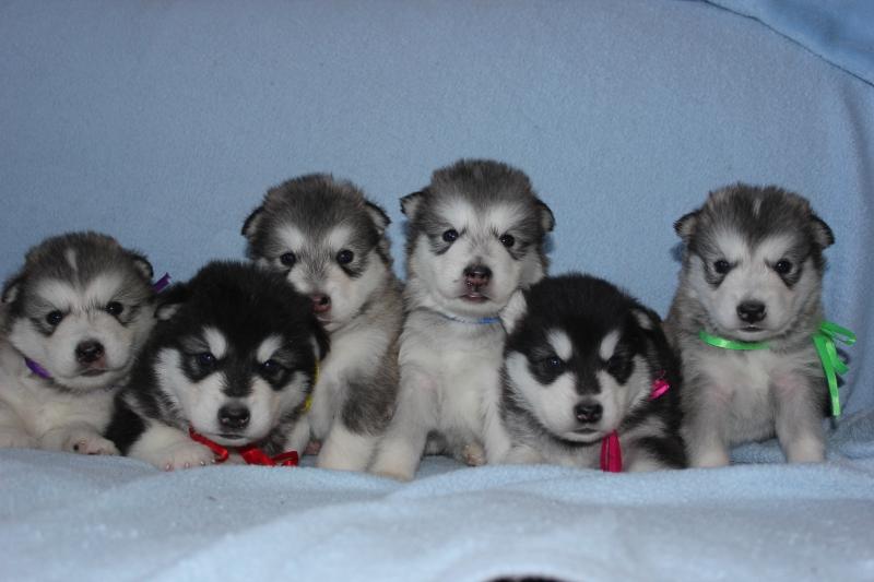 Продам щенков Аляскинского маламута от титулованных родителей