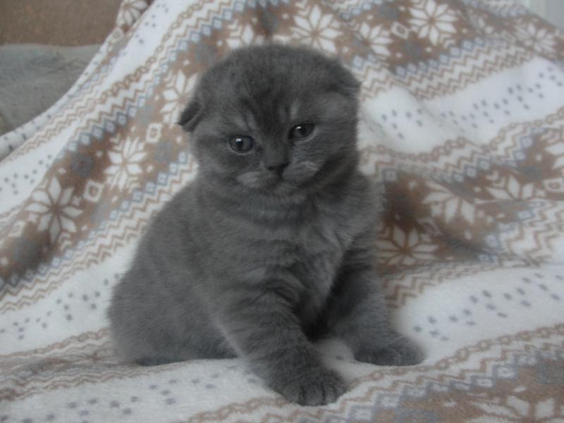 котенок британец голубой вислоухий