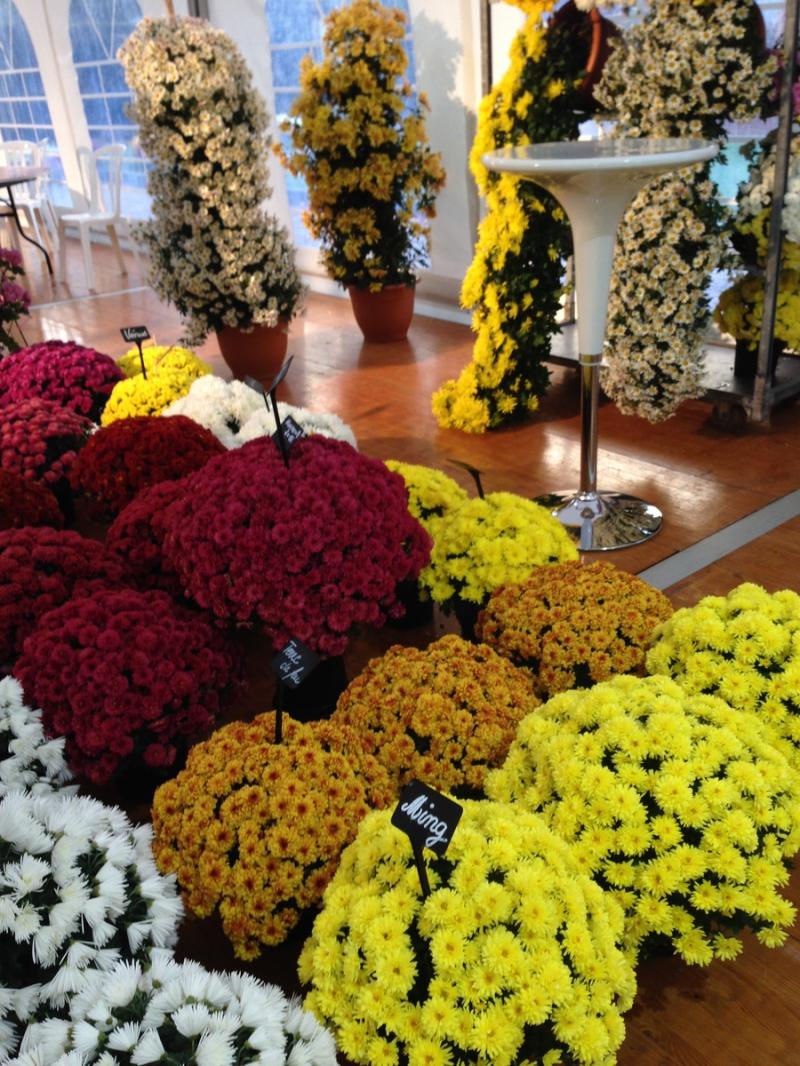 Цветы хризантемы купить оптом, склад цветов пр.победы