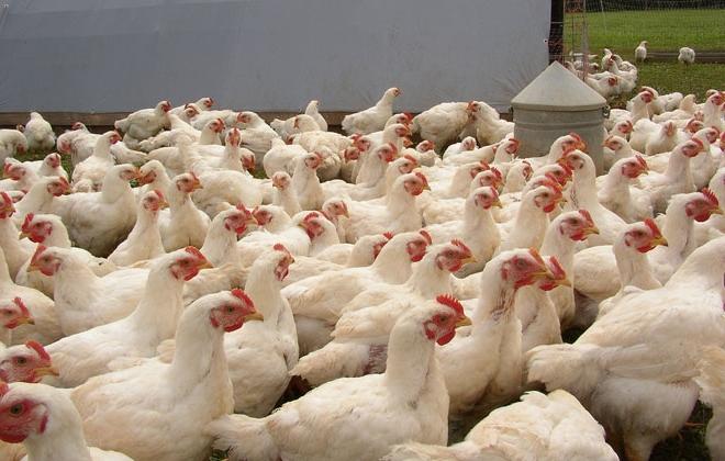 бройлера суточный цыпленок, Арбор айкерз кросс