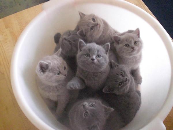 В дар британских котов