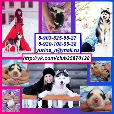 ХАСКИ черно-белых красивееенных щеночков с яркими голубыми глазками, продам !!!