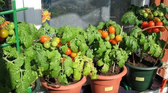 комнатные помидорки и перчики