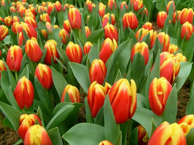 Купить тюльпаны в екатеренбурге оптом цветы розы белые купить