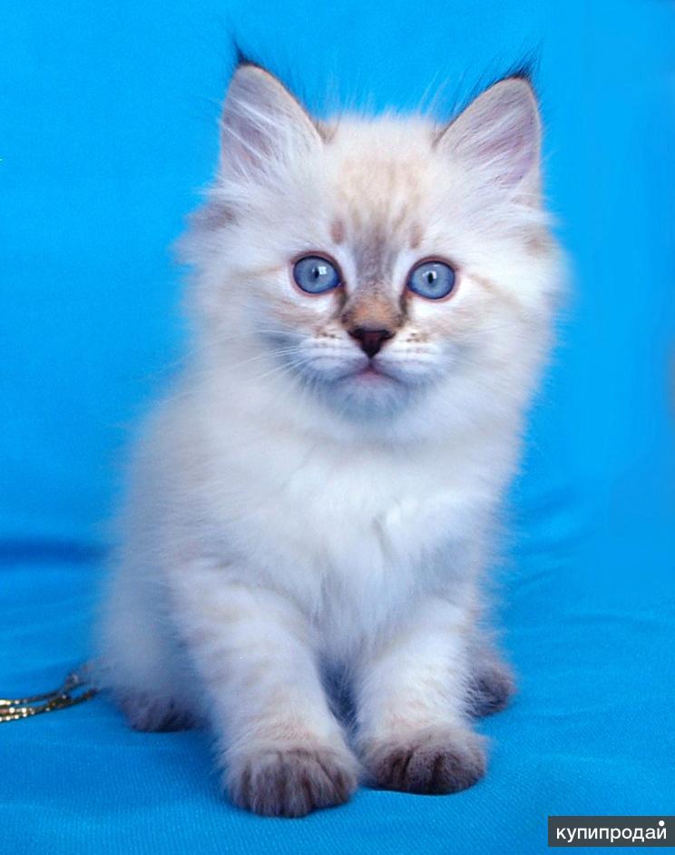 Котята невская маскарадная фото опубликовала фотографию