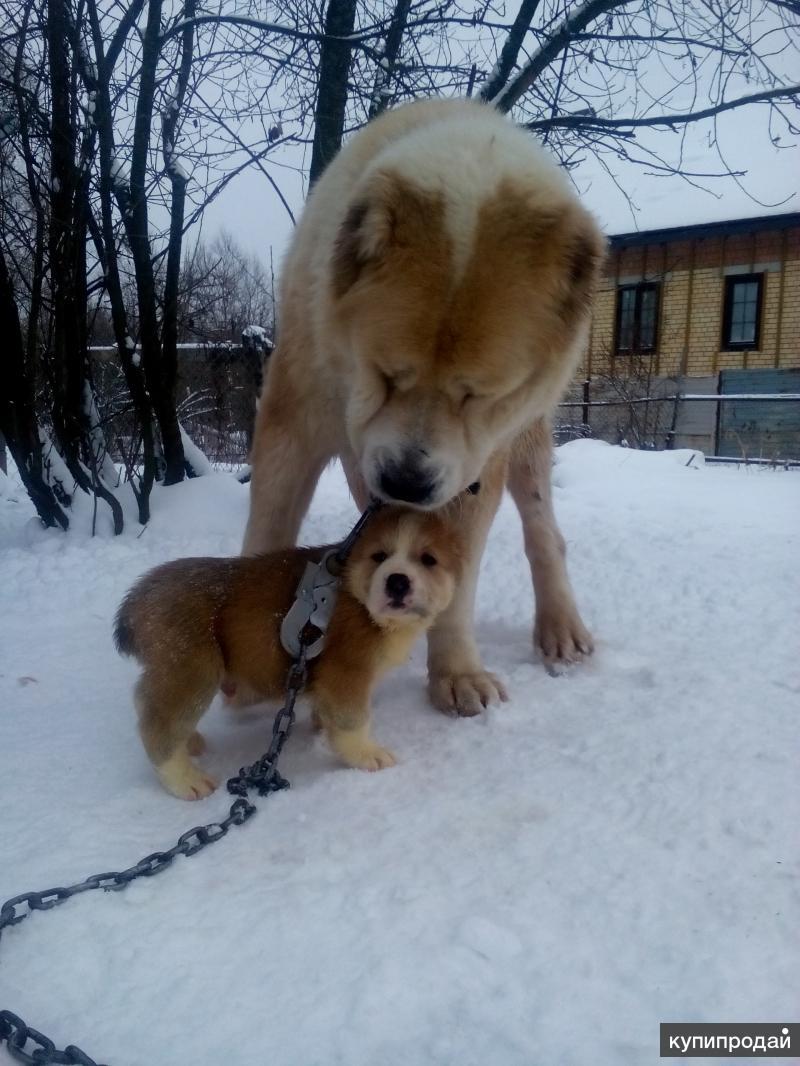 Кавказской овчарки щенки gt Ярпортал форум Ярославля