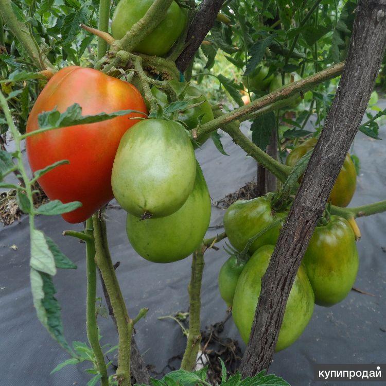 семена скороспелых томатов