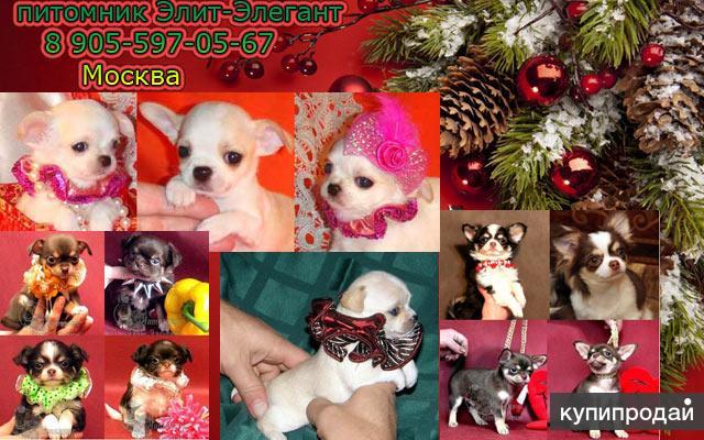 Чихуахуа фото-продажа мини щенков.