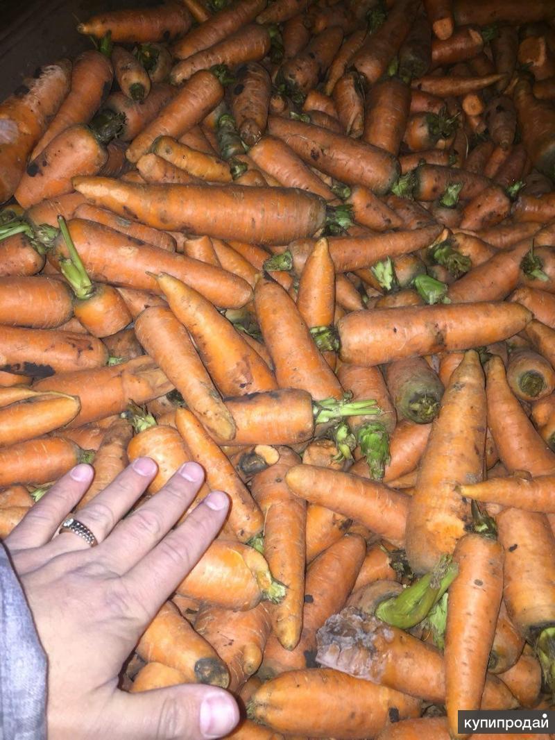 Мытый лом моркови  на переработку