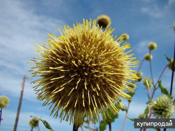 Альфредия -  лекарственное растение для улучшения памяти. Семена почтой.