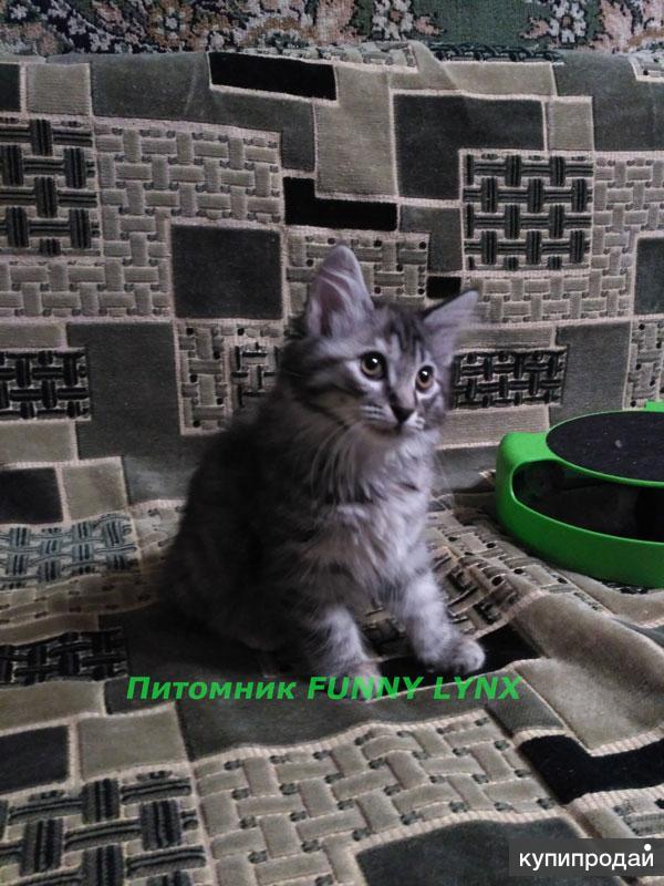 Питомник предлагает котят Курильского бобтейла