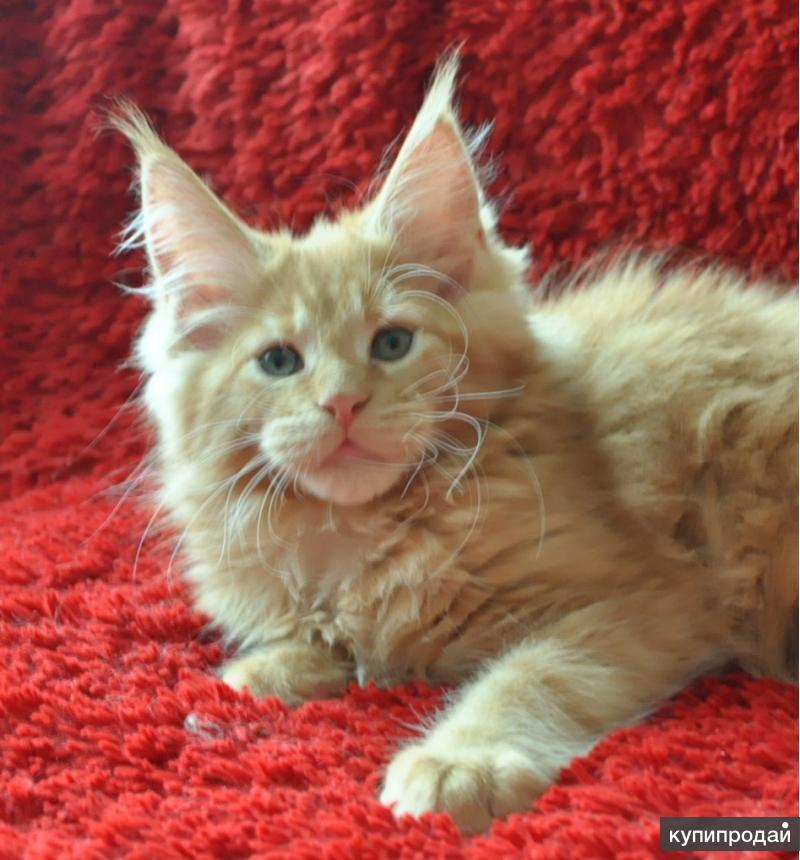Котята мейн кун санкт петербург