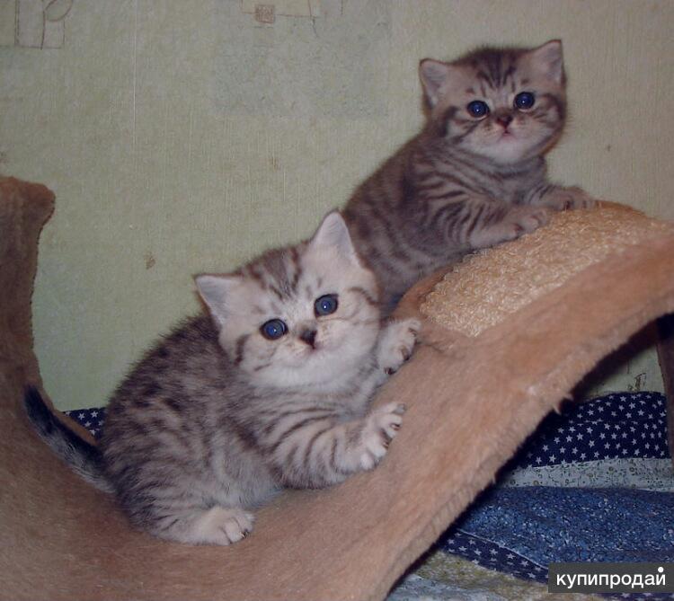 штрих выбираем британские котята вискас фото и уход что