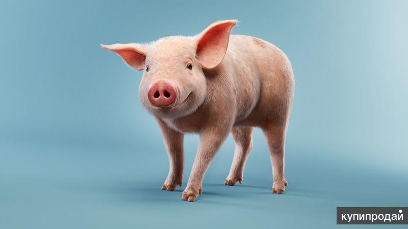 Продам мясо молодой свинины