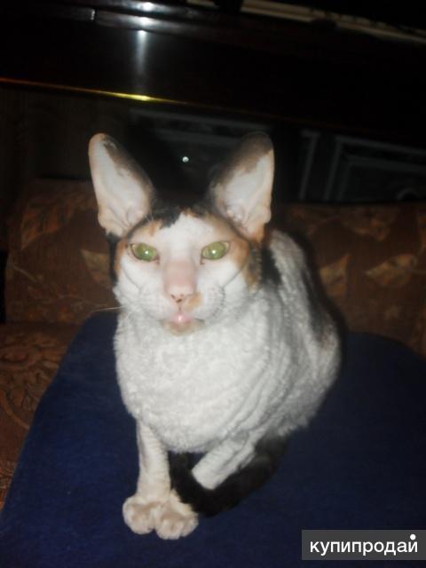 продаю стерилизованную кошку