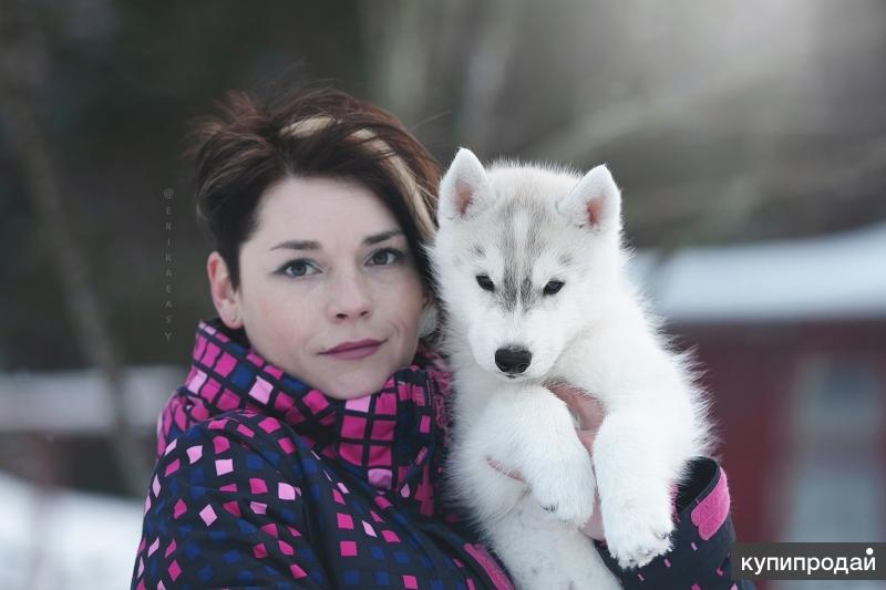 Очаровательный щенок Сибирский Хаски от интерчемпиона
