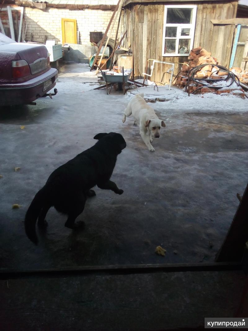 Продается собака