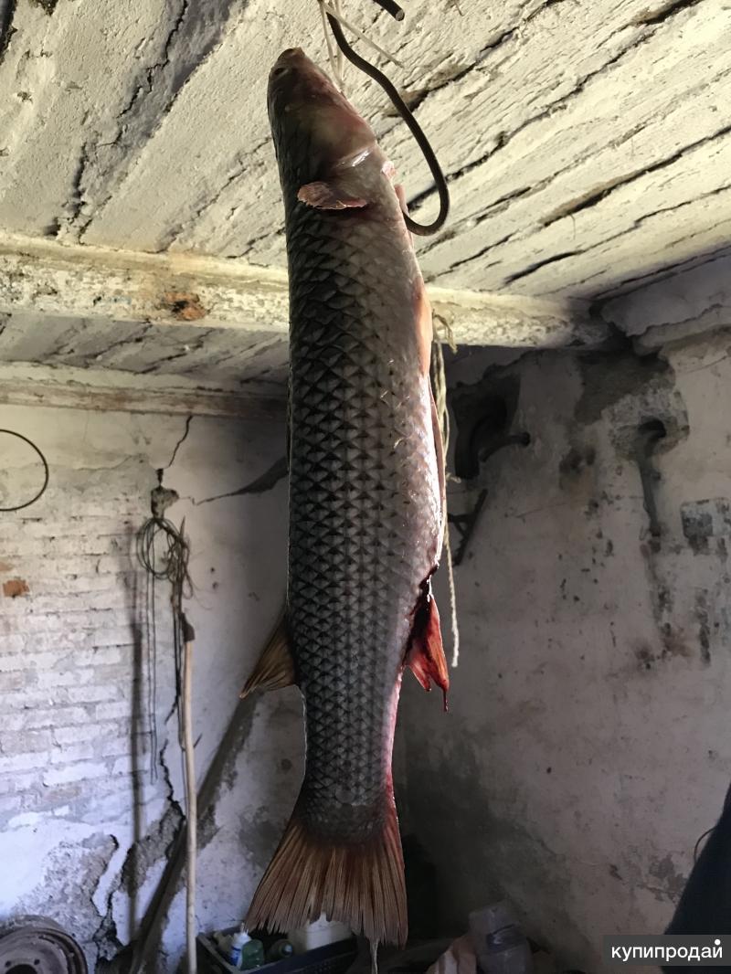 рыбы ростовской области фото с названиями том, как приготовить