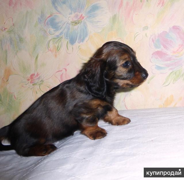 Продам щенков таксы (вес до 5 кг.) длин-шер.