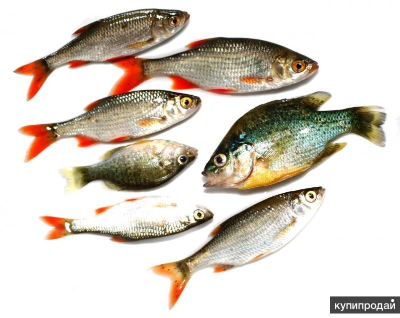 рыбы средней полосы россии картинки дайверов любителей
