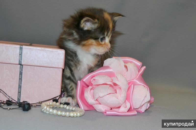 Котята породы Мейн-кун