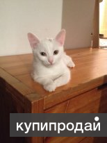 Котёнок Турецкой ангоры белый мальчик 3 месяца очень КРУПНЫЙ!