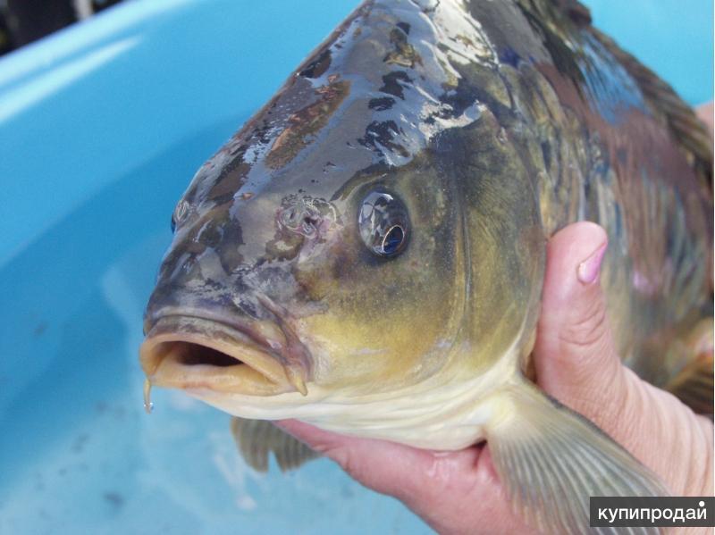 Малёк, рыбопосадочный материал, живая рыба