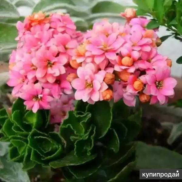 Каланхоэ – лекарственное растение (цветет) с горшком.