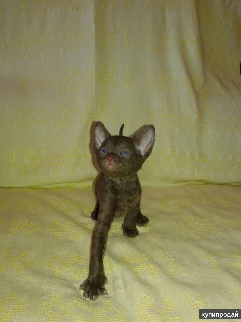 Корнуэльские котята редкой породы