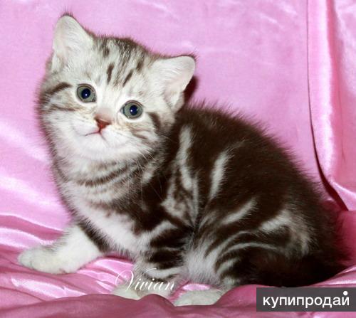 Британские котята вискас из питомника VIVIAN.