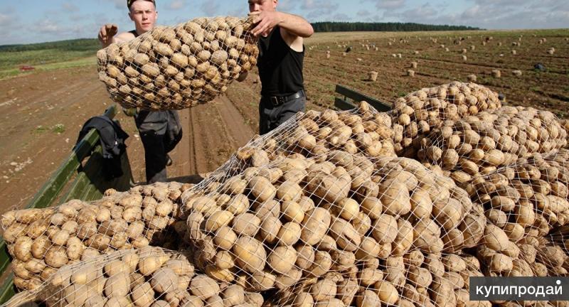 Продовольственный картофель 5+ от производителя.