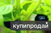 Сараха овощная - редкое ягодное садовое растение. Семена почтой по России.