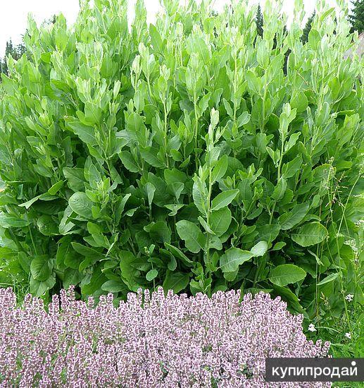 Калуфер - редкое пряное и лекарственное растение. Почтой по России и СНГ.