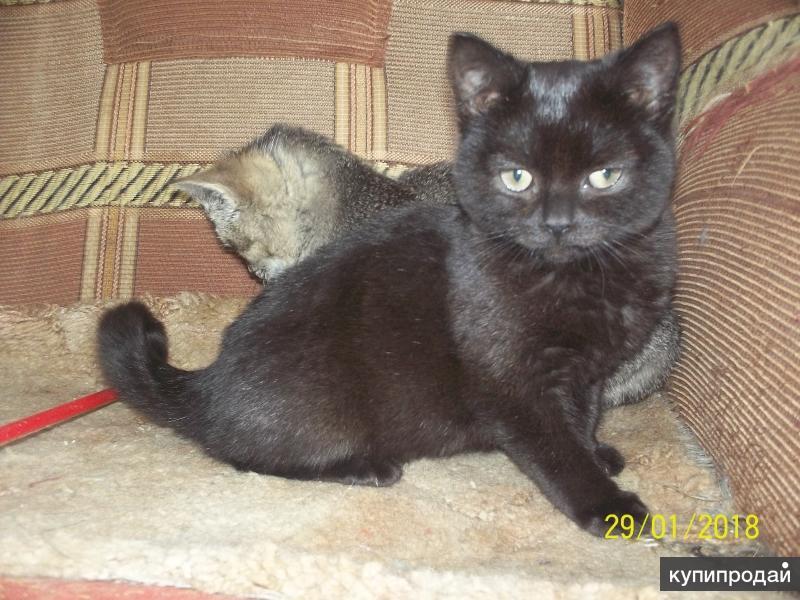Британский черный котенок.