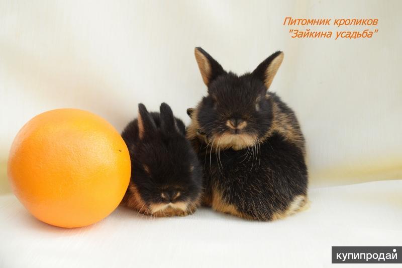 Декоративные кролики огневки - Огненный кролик- Уникальный окрас.  Питомник .