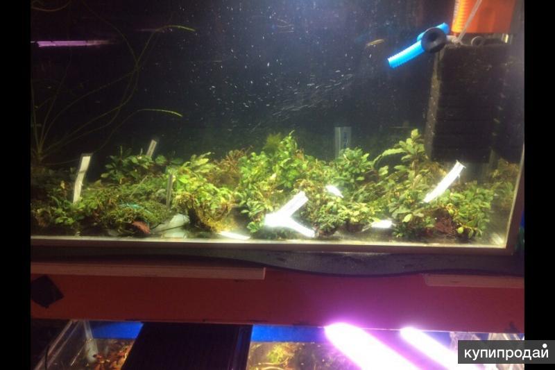 Аквариумные растения Буцефаландры