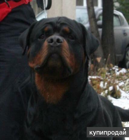 лучшие щенки ротвейлера в Красноярске