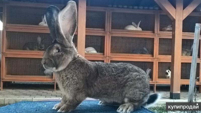 Чистокровные кролики из Европы.