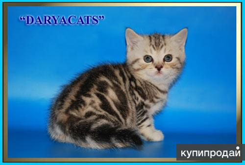 Шотландские  котята мраморного окрасов