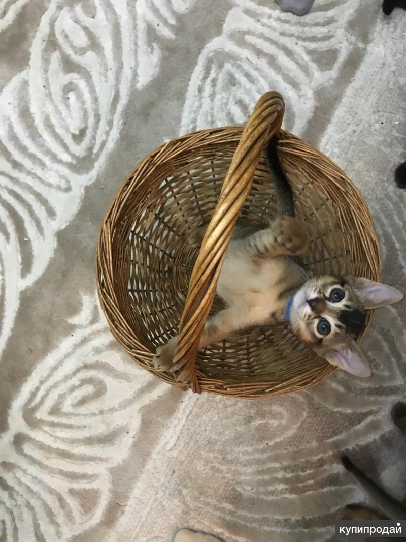 Абиссинский чудо котик