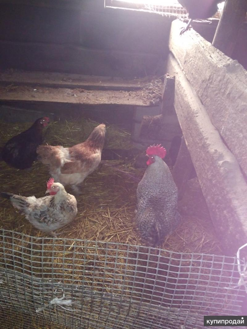 Продаю инкубационное яйцо и цыплят