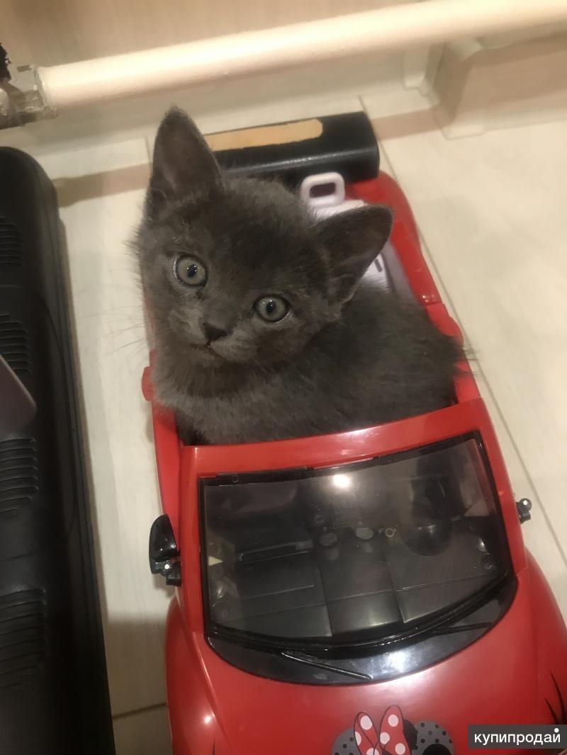 Продам недорого котят бурма-бомбей