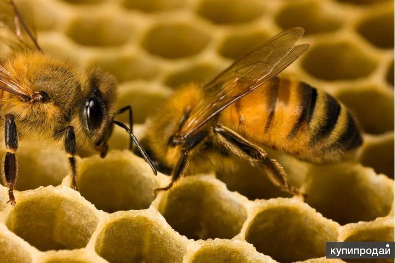 Пчелопакеты Карпатка и Карника
