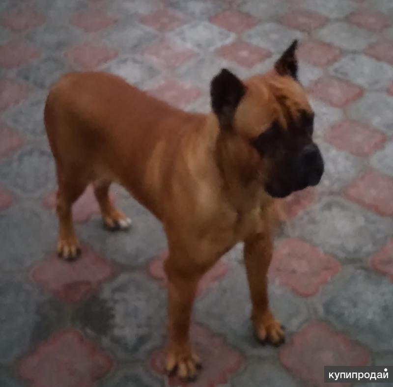 продажа взрослой и щенков собак порода боксер