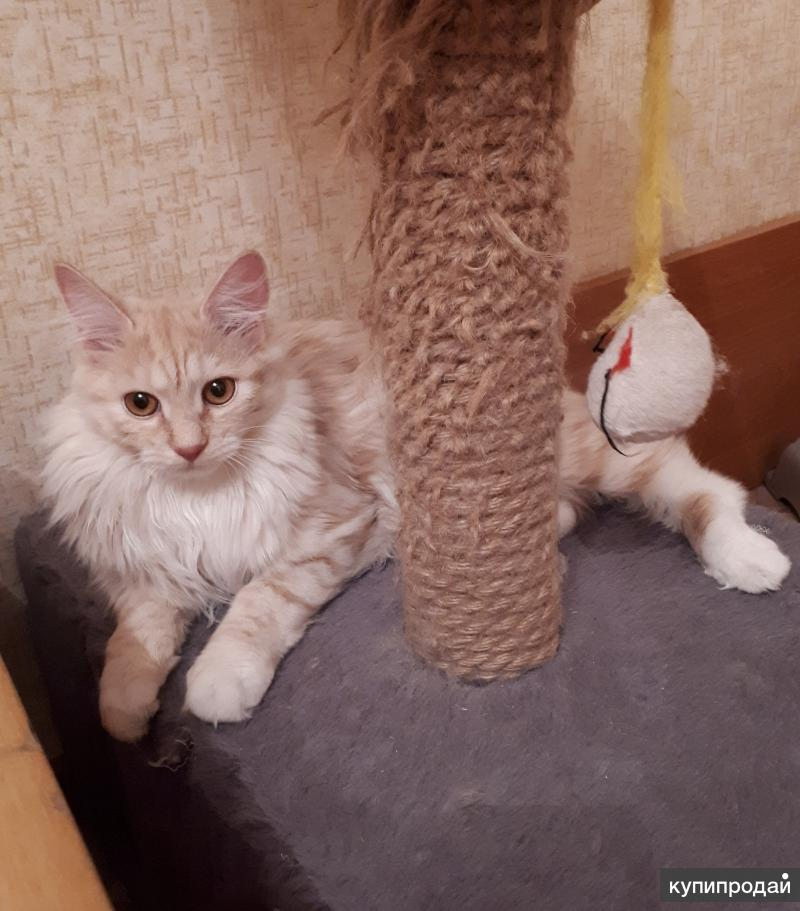 Котенок - кошечка Курильского бобтейла (восхитительного нежного окраса)