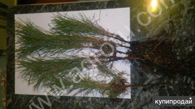 Продаю сеянцы сосны,березы