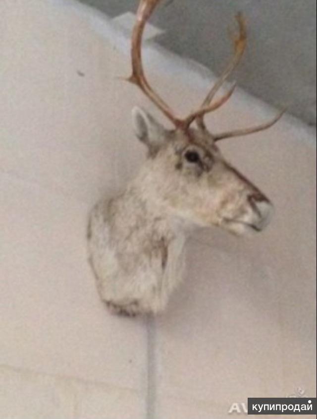 Чучело головы оленя
